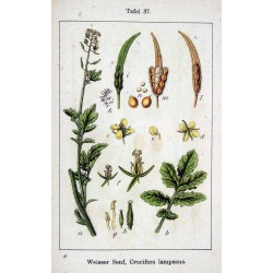 Mustard Seeds 250 gr