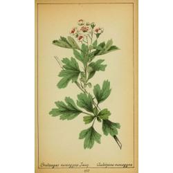 Hawthorn Flower and Leaf 500 gr