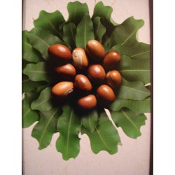 Shea Butter Organic & fair trade 250 gr