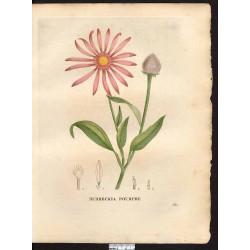 Tincture Echinacea 50 ml.
