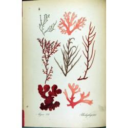 Dulse Seaweed 250 gr