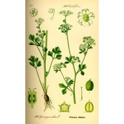 Celery Seed 500 gr