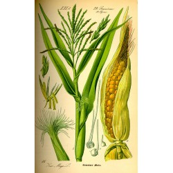 Corn Silk 500 gr