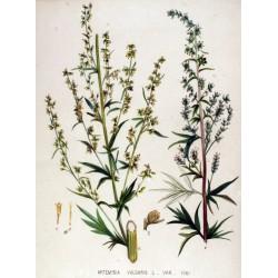 Mugwort 500 gr