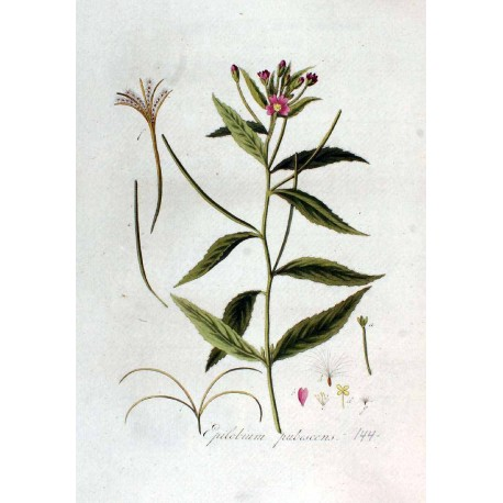 Hoary Willowherb 250 gr