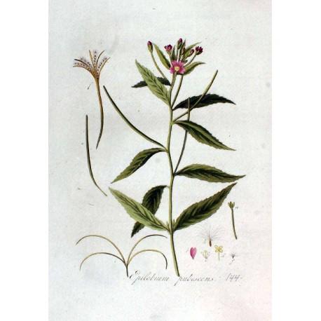 Hoary Willowherb 250 gr