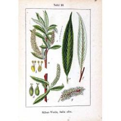White Willow Bark 500 gr
